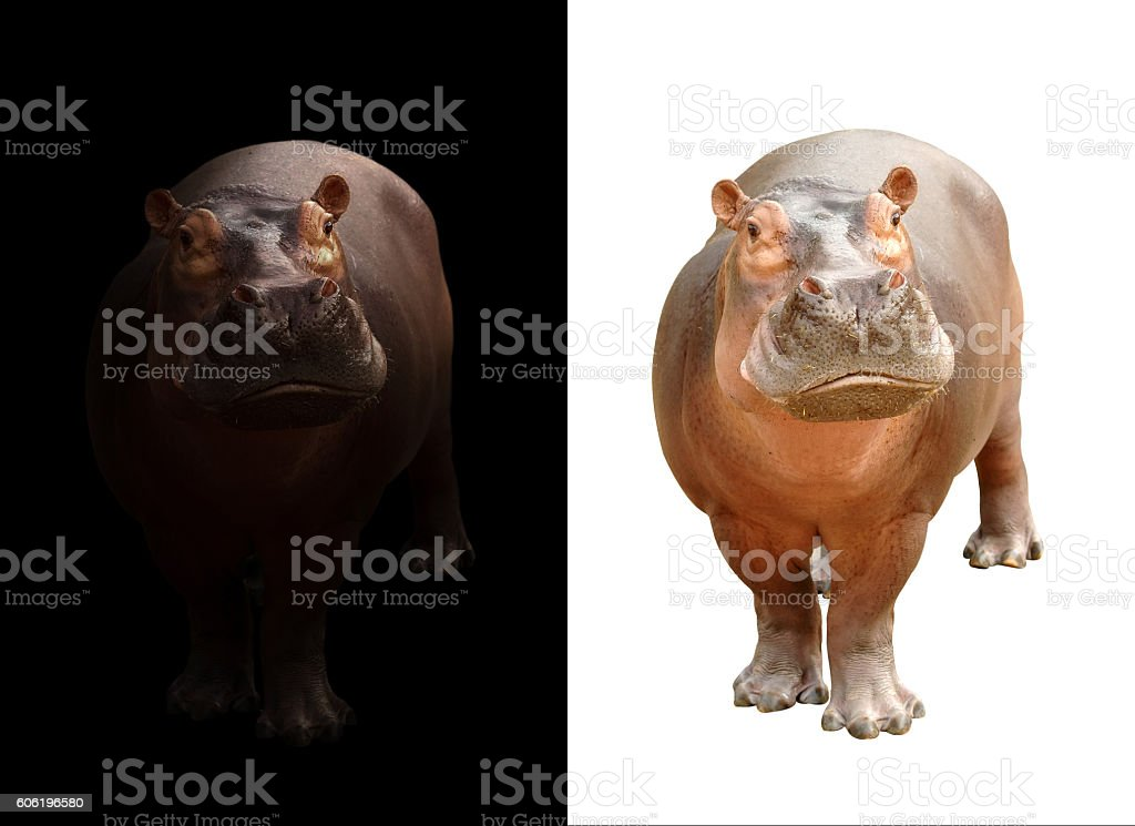 hippopotamus on dark and white background stock photo