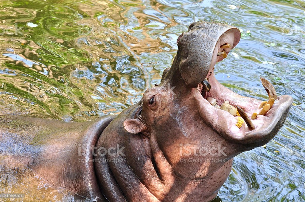 Hippopotamus open mouth stock photo