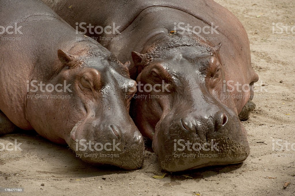 Hippopotamus . stock photo