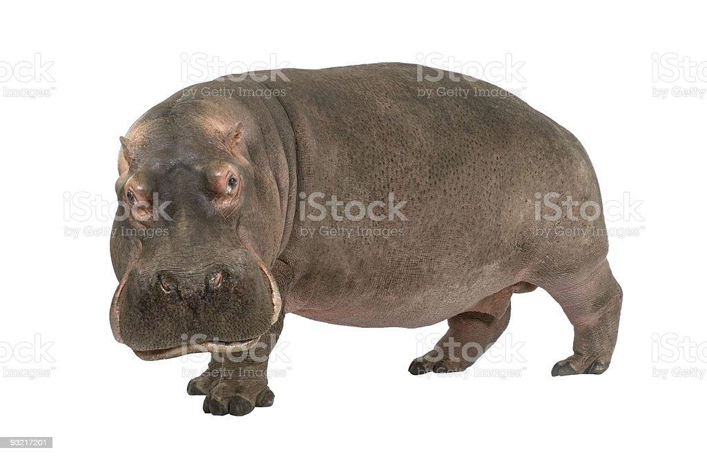 Hippopotamus (30 years) royalty-free stock photo