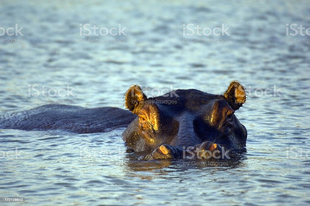 hippopotamus St. Lucia Wetlands South Africa royalty-free stock photo