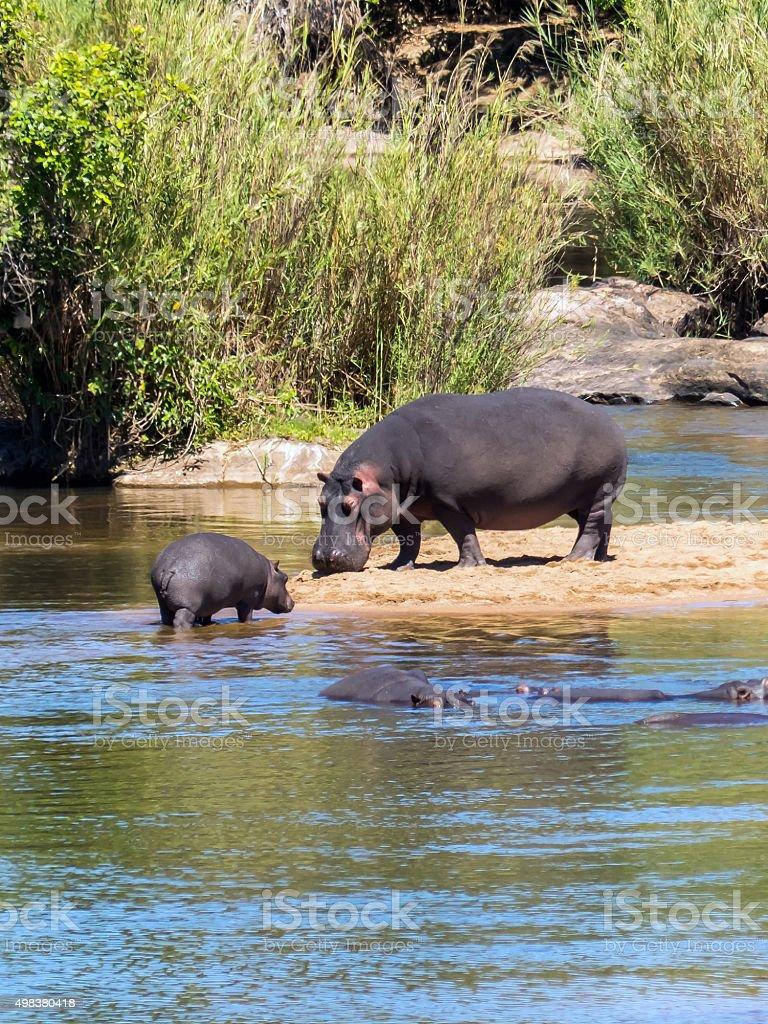 Hippopotamus with baby stock photo