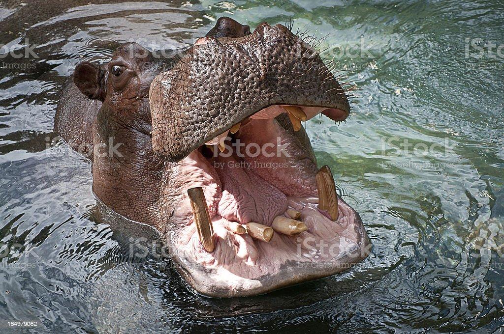 Hippopotamus with Mouth Open stock photo