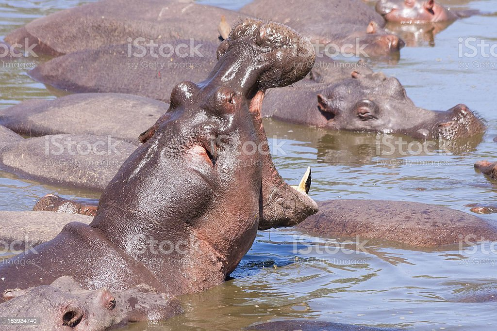 Hippopotamus with open jaws bathes in river among others royalty-free stock photo