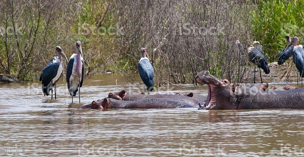 Hippos and storks on Lake Chamo, Ethiopia stock photo