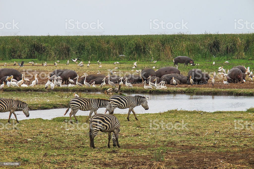 Hippos and zebras by the water stock photo
