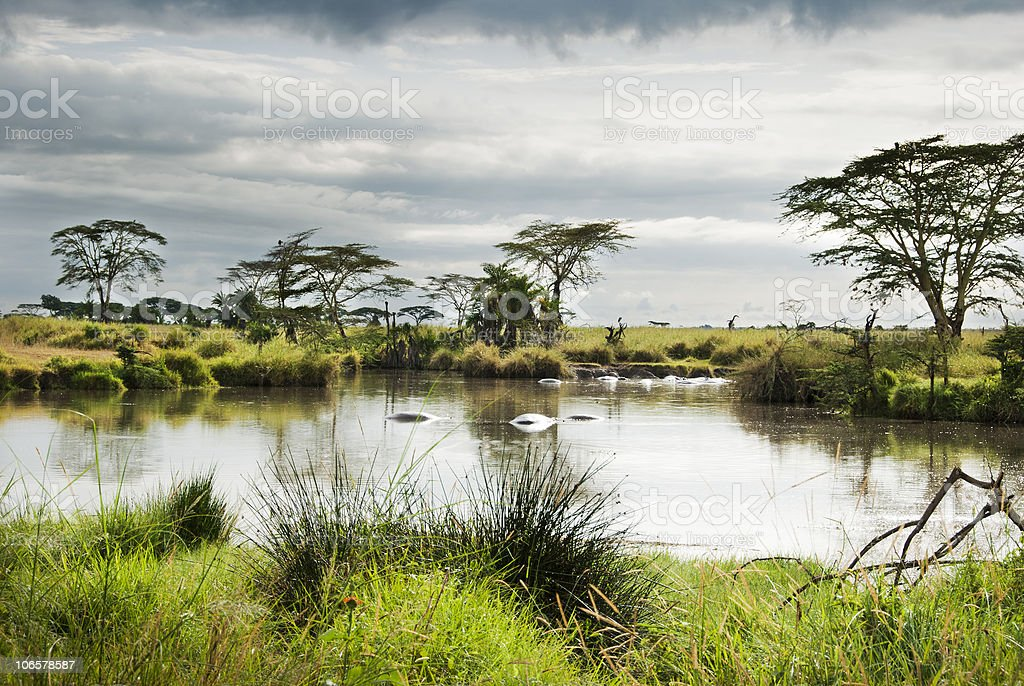 Hippos at rest in the Serengeti stock photo