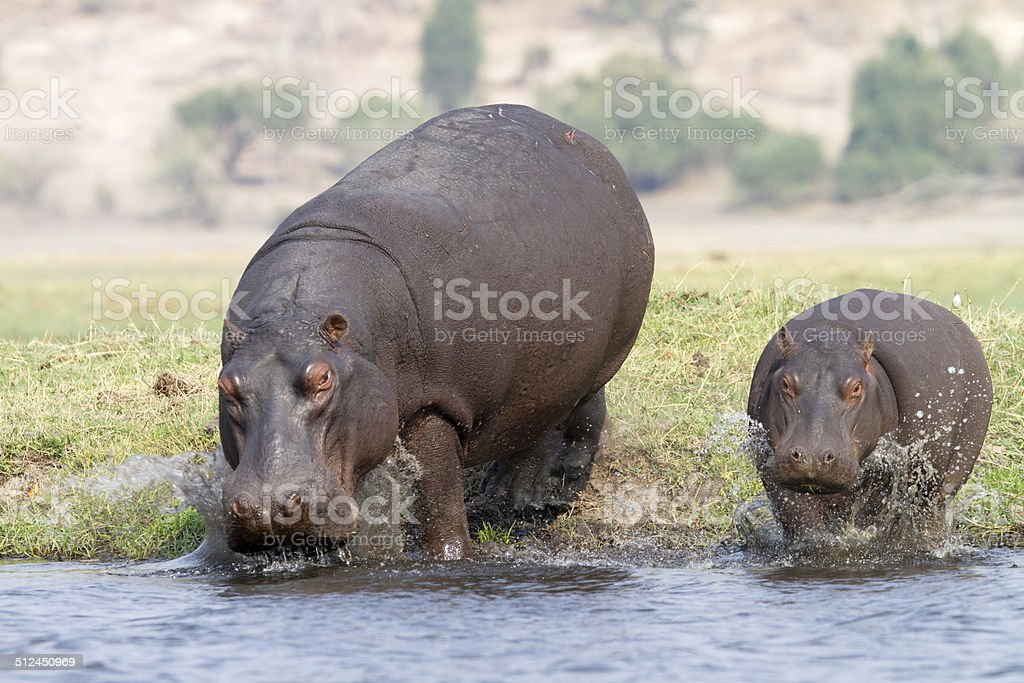 Hippos at the Zambesi river, Cobe National Park, Botswana stock photo