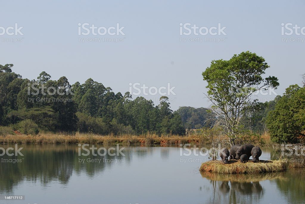 Hippos by a lake stock photo