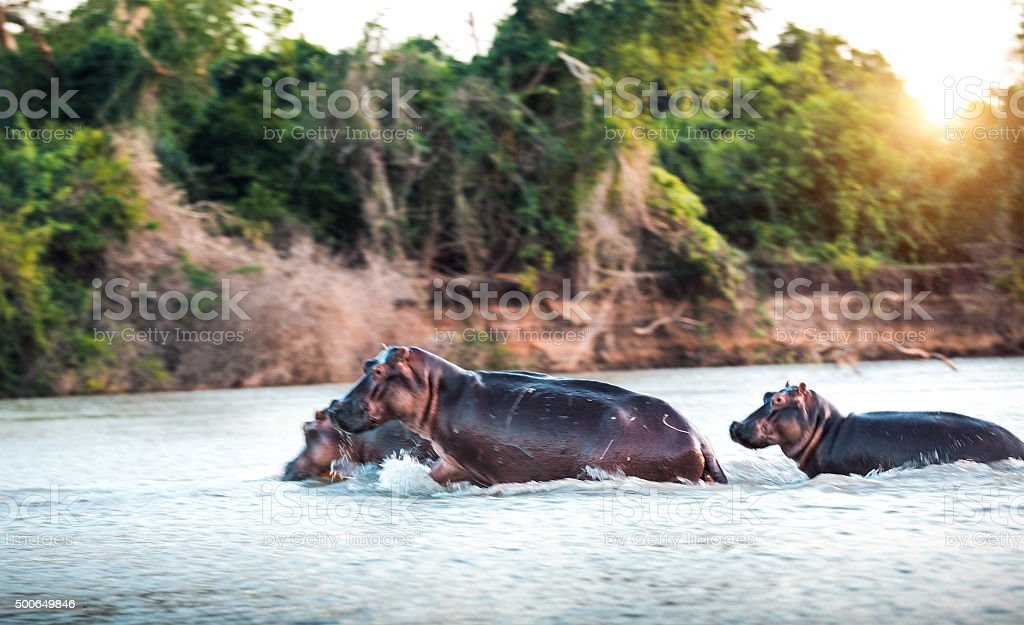 Hippos Crossing The River stock photo