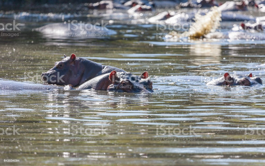 Hippos in a waterhole of the Serengeti stock photo
