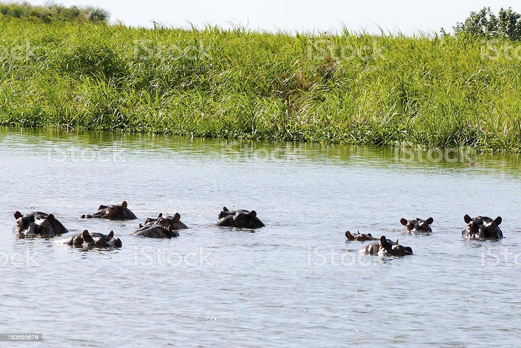 Hippos in Murchison Falls National Park Uganda royalty-free stock photo