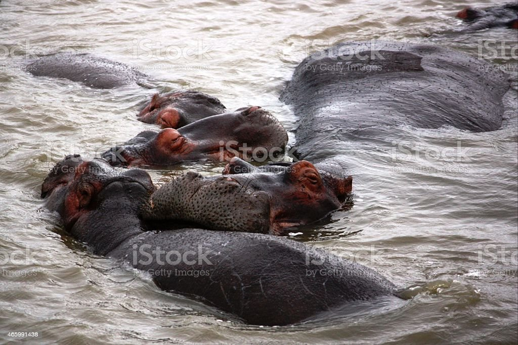 Hippos in St Lucia Kwazulu Natal, South Africa stock photo
