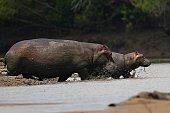 Hippos in the beautiful nature habitat