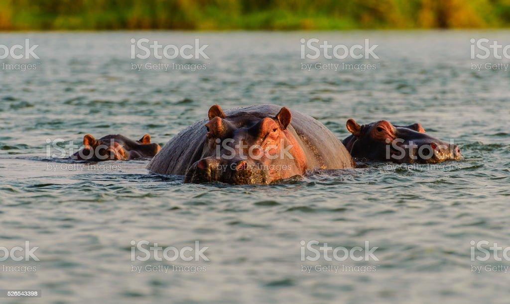 Hippos on the Zambezi River in Zambia stock photo