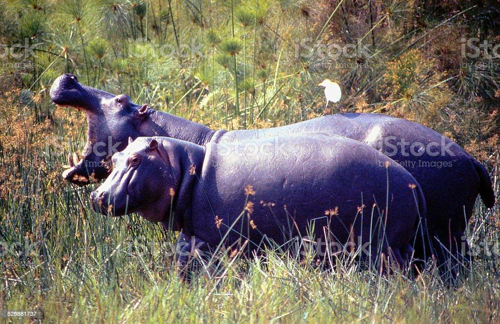 Hippos Papyrus Swamp Cattle Egret Virunga National Park Congo Africa stock photo