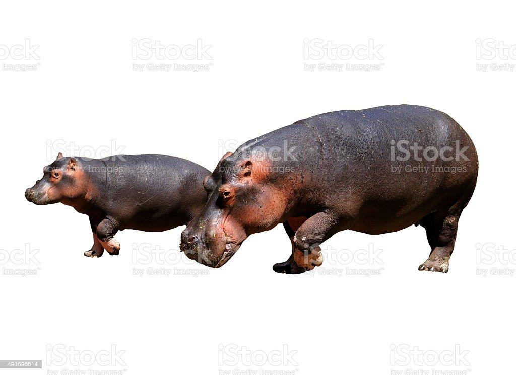 Hippos parent and child stock photo