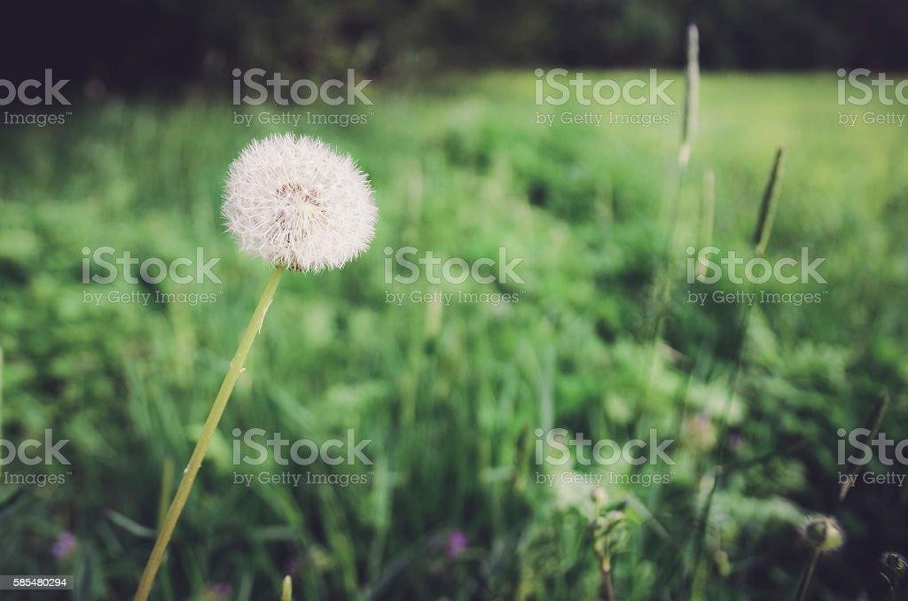 Hipster dandelion. stock photo