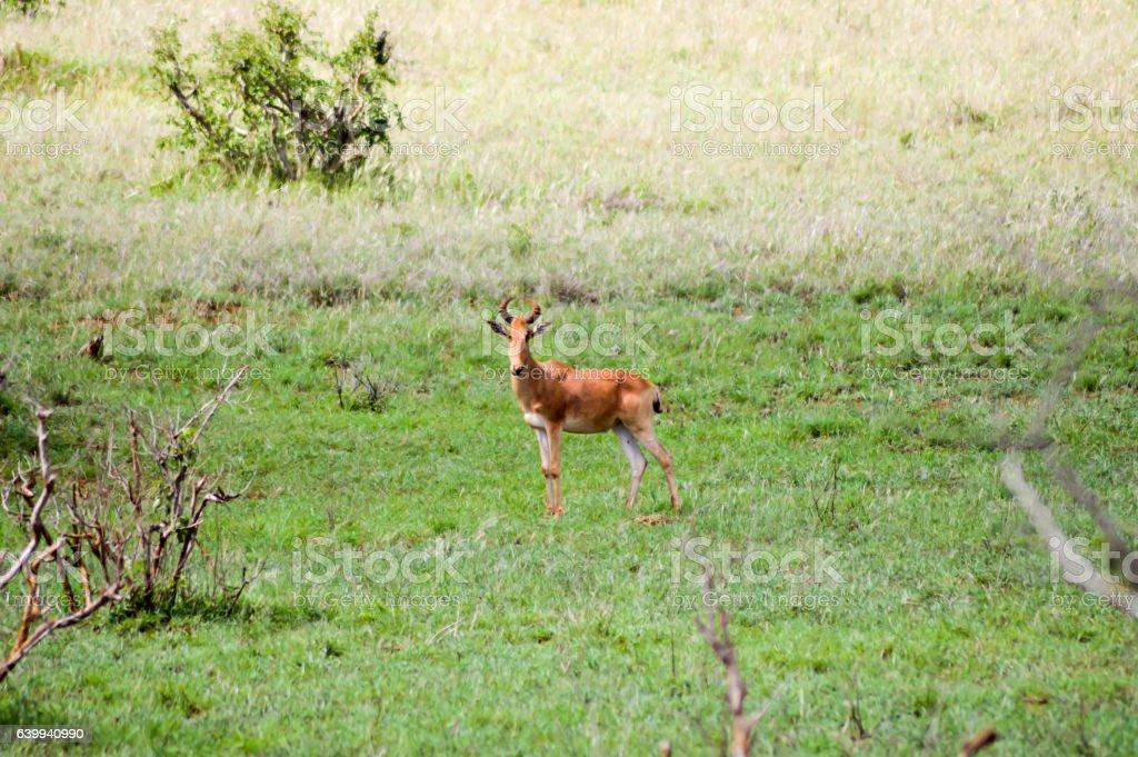 Hirola in the savanna stock photo