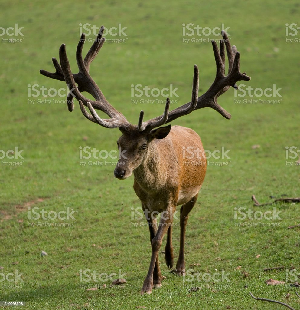 Hirsch stock photo