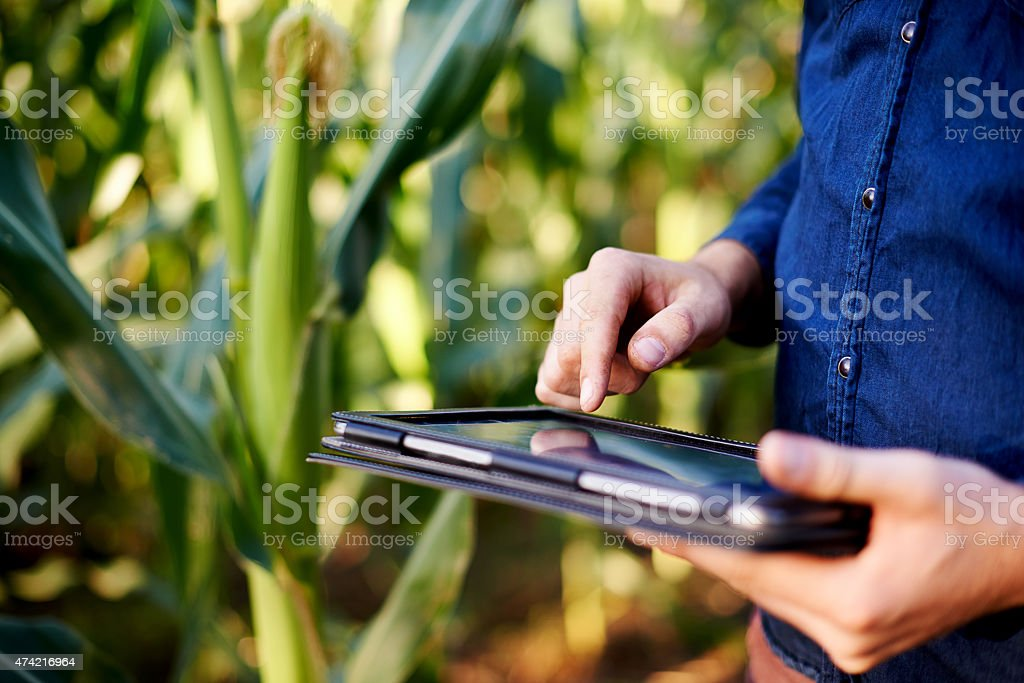 His corn is growing at an impressive rate stock photo