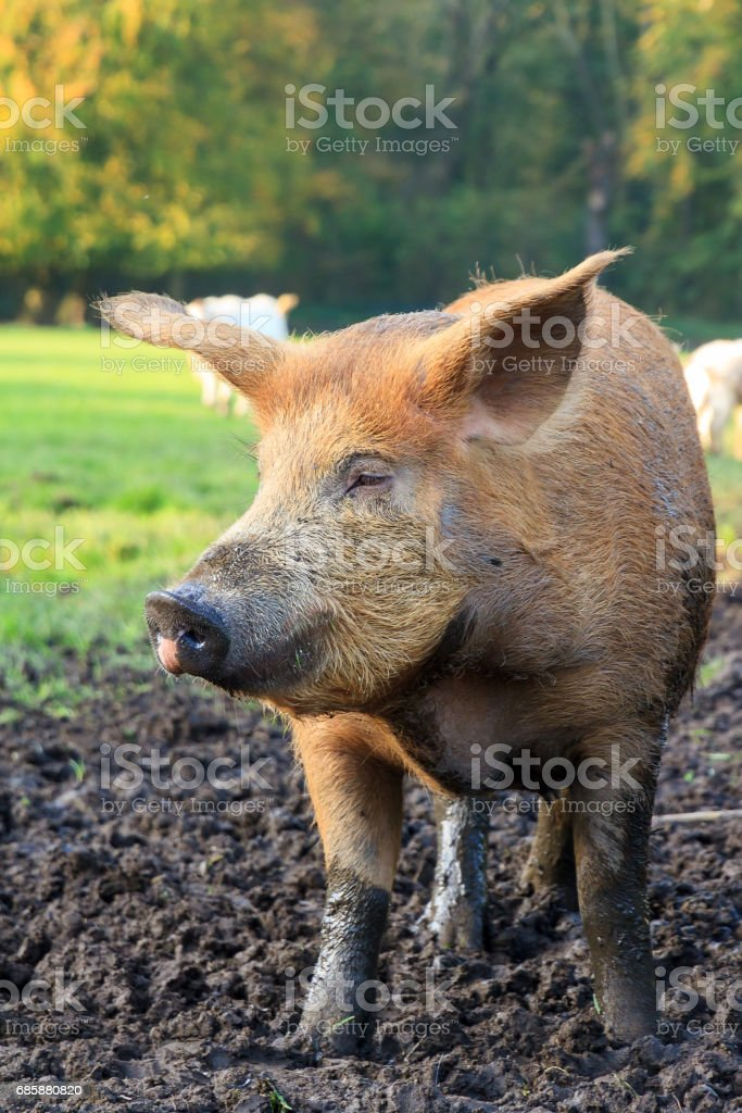 Sus scrofa brown stock photo