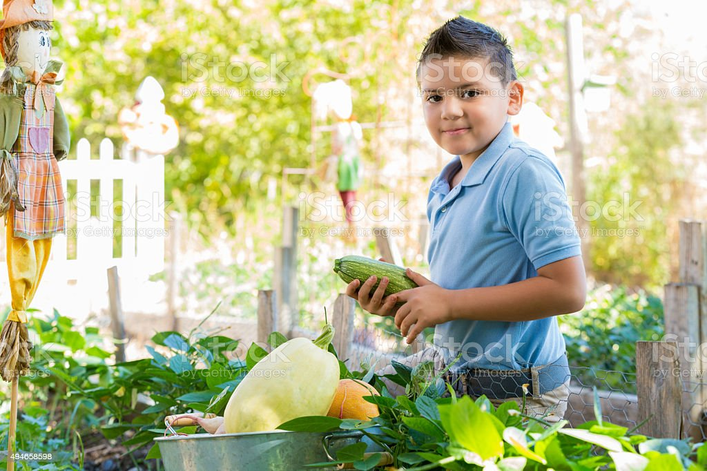 Hispanic child picking vegetables in school garden stock photo