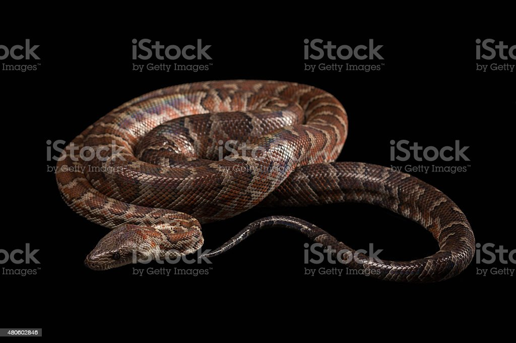 Hispaniolan boa, Chilabothrus or epicrates striatus stock photo
