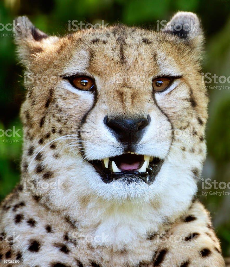 hissing cheetah stock photo