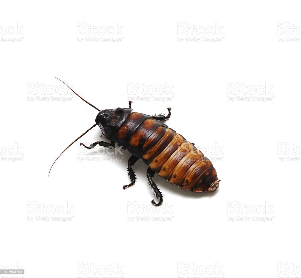 Hissing Cockroach royalty-free stock photo