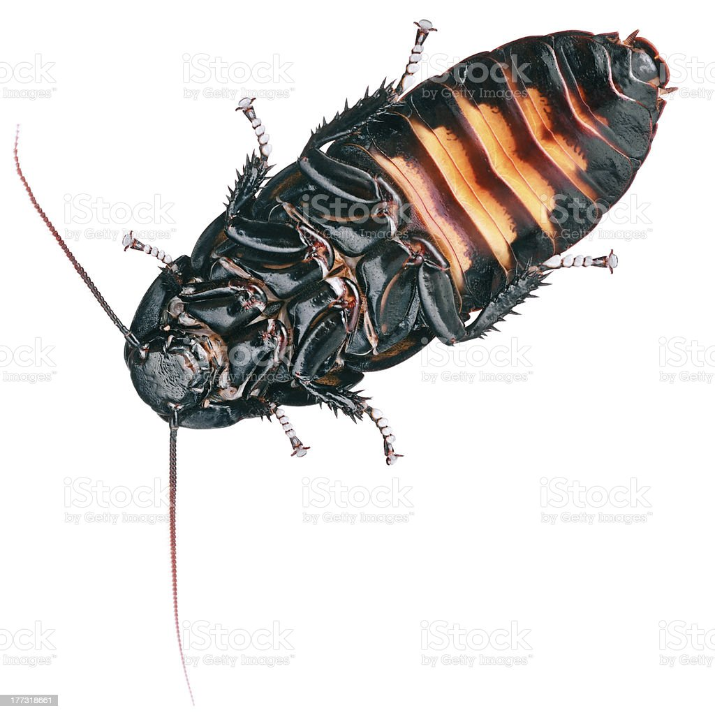 Hissing Cockroach stock photo