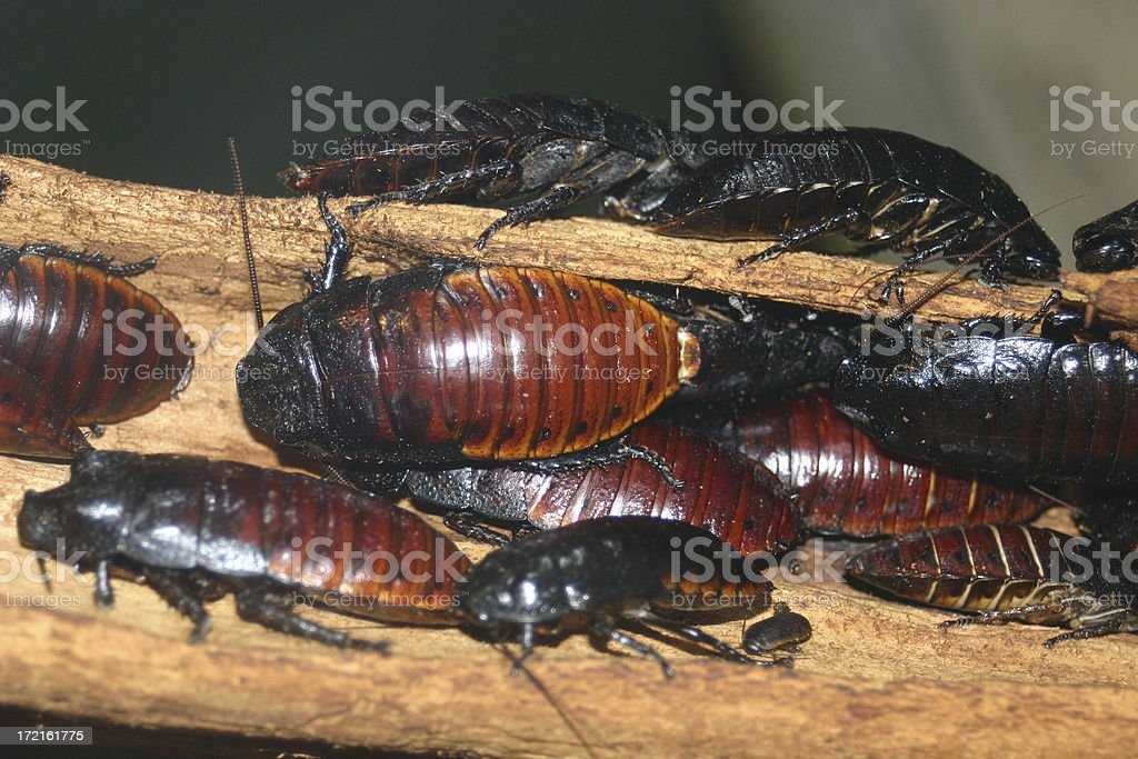 Hissing Cockroaches stock photo