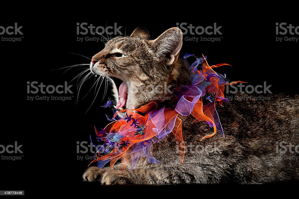 Hissing Halloween Tabby Cat stock photo