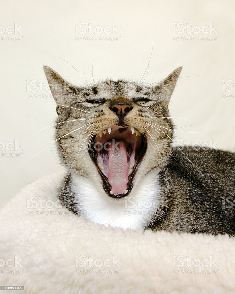 Hissing or Yawning Cat stock photo