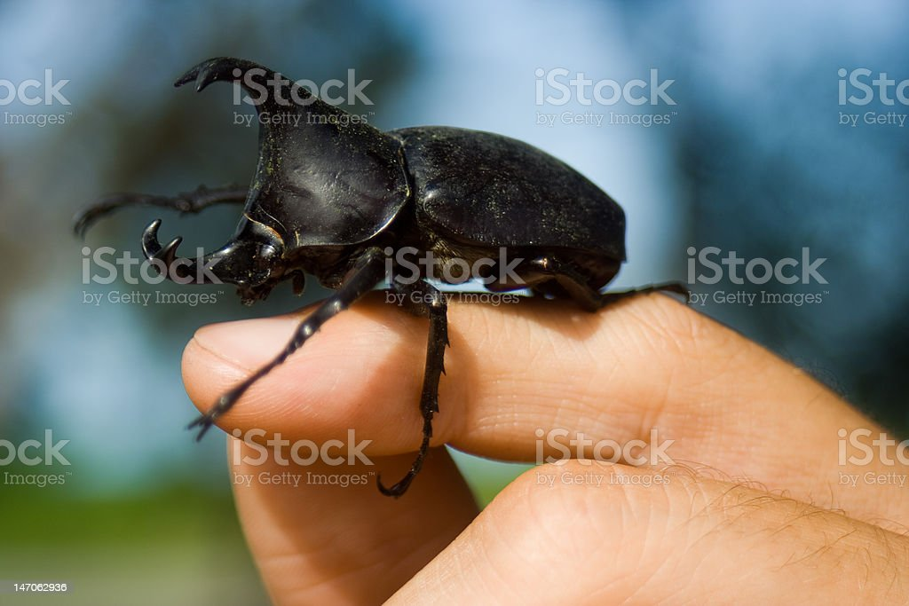 Hissing Rhinoceros Beetle stock photo