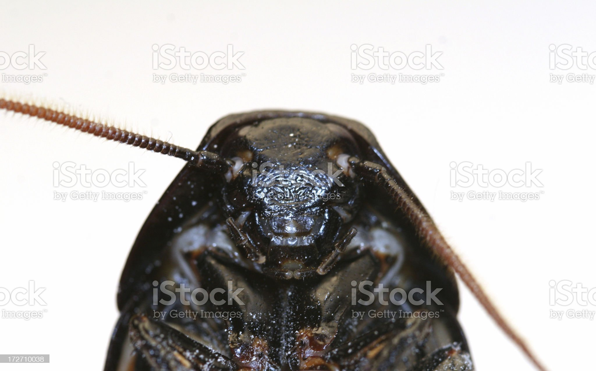 Hissing Roach Faceshot royalty-free stock photo