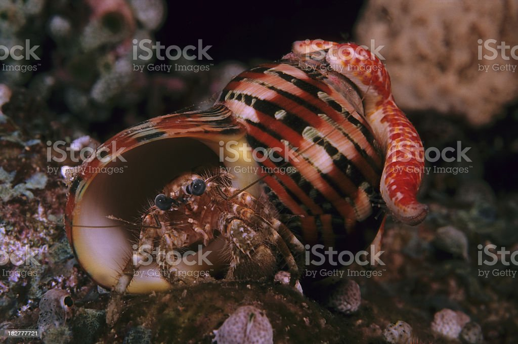 Hitchhiker Starfish on Shell with Crab inside royalty-free stock photo