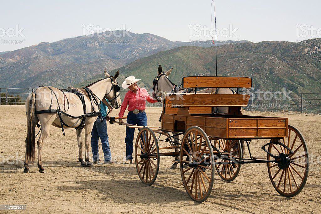 Hitching Up The Mules royalty-free stock photo