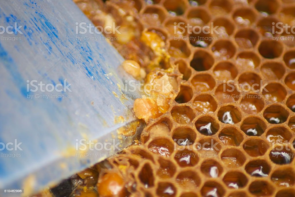 Hive Tool scrapes at Pollen in a Honeycomb stock photo