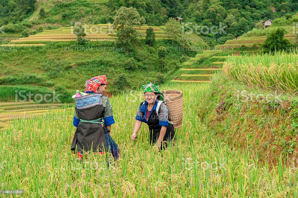 Hmong woman working on the rice terraced field stock photo