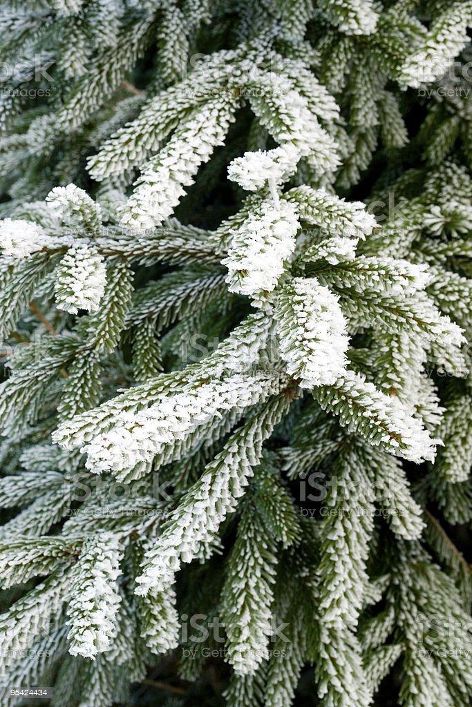 Hoar frost on pine tree branch stock photo