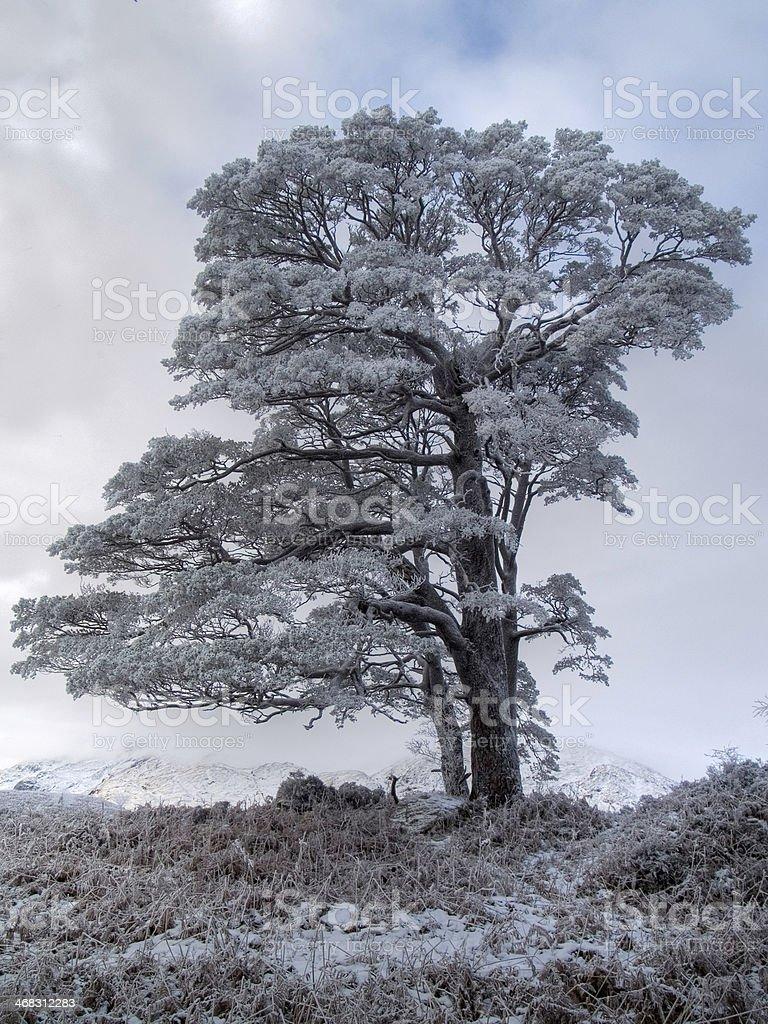 Hoar frost on solo tree stock photo