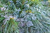 Hoar frost on winter leaves plant