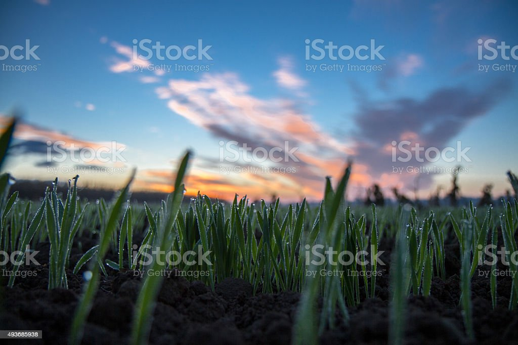 Hoarfrost Covering The Wheat Plants stock photo