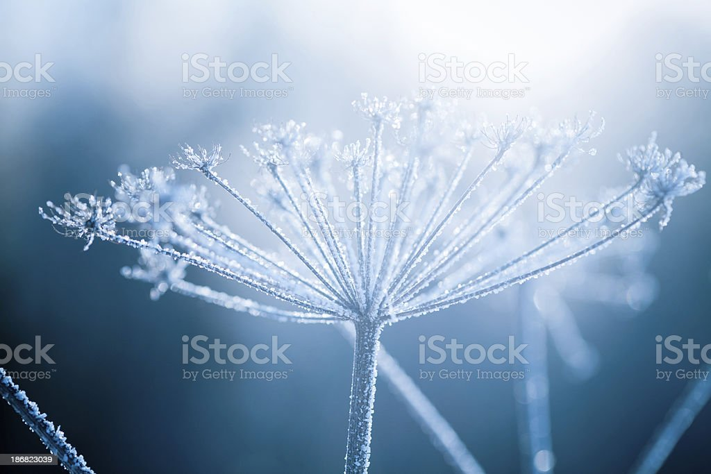 Hoarfrost on a branch royalty-free stock photo