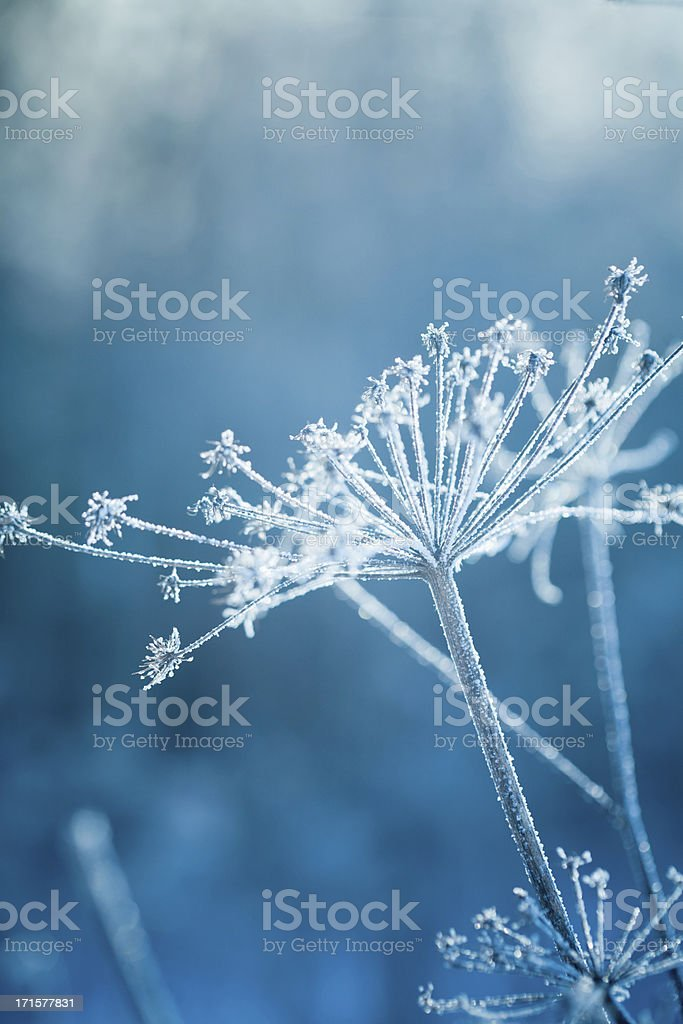 Hoarfrost on a plant royalty-free stock photo