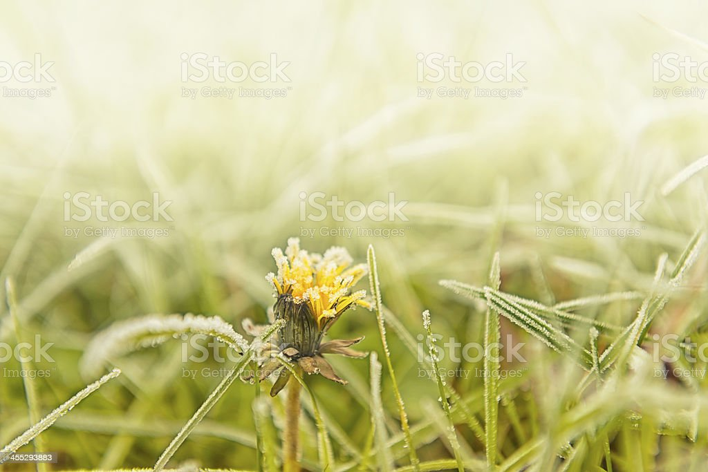 Hoarfrost on green grass royalty-free stock photo