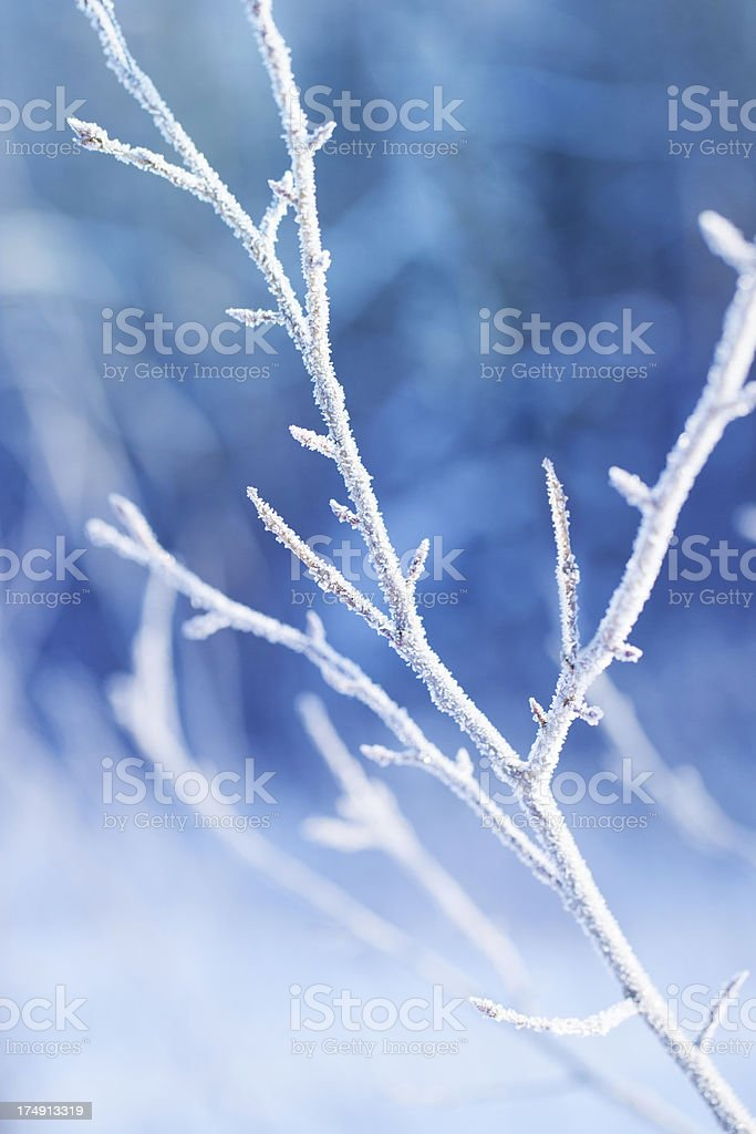 Hoarfrost on the plant in a winter garden royalty-free stock photo
