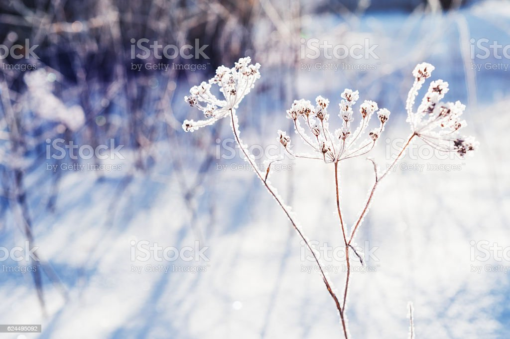 Hoarfrost on the plants in winter forest. stock photo