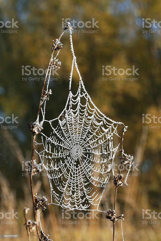 Hoar-frost spider's web stock photo